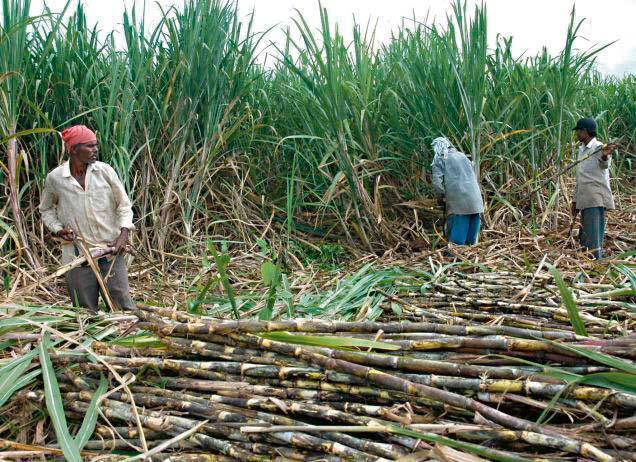 किसानले उखु खेती गर्न छाड्दै