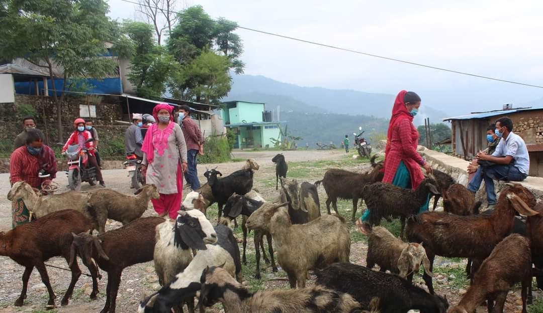 बिरामी बाख्रा वितरण गरिएको भन्दै किसान द्वारा विराेध,नगरपालिकाले फिर्ता गरायो